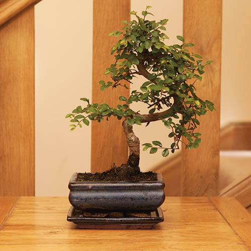S Shaped Bonsai Tree With Ceramic Planter