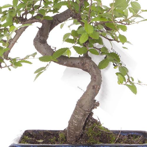 Chinese Elm S Shaped Bonsai tree
