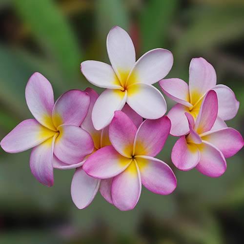 Plumeria Divine pink 14cm pot - Frangipani