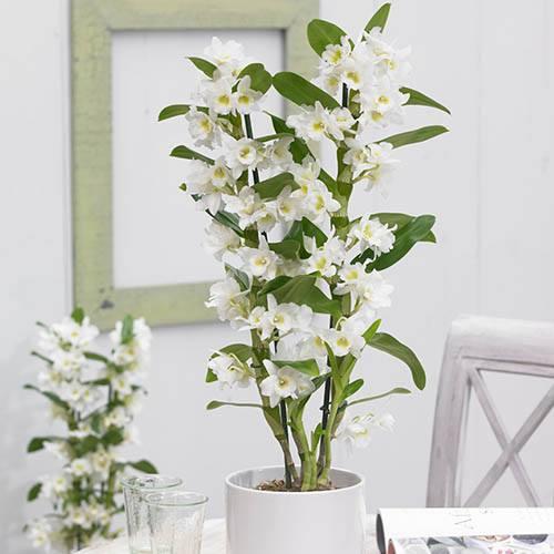Dendrobium nobile White Orchid