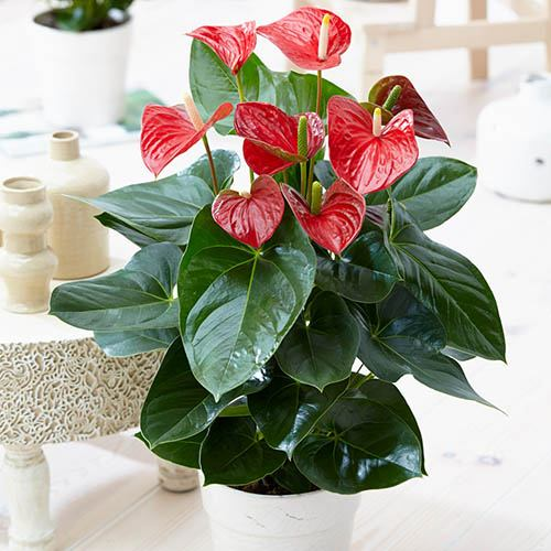 Anthurium Red Flamingo Flower