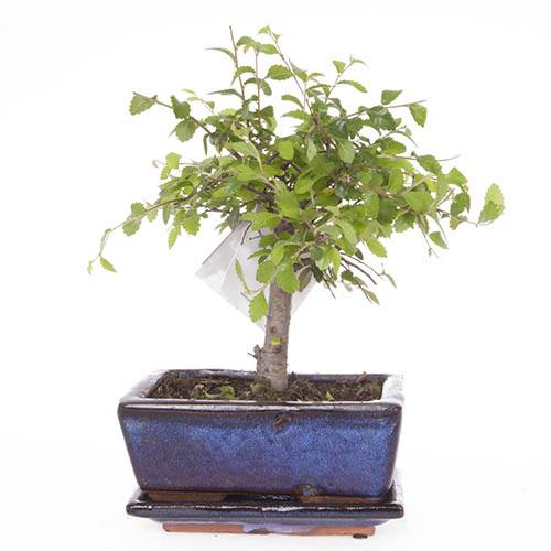 Chinese Elm Bonsai Tree 12cm ceramic