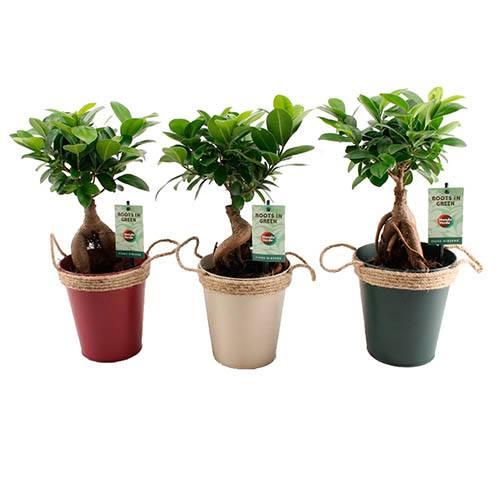 Bonsai Ficus Ginseng - Easy Care Houseplant in 13cm Zinc Pot