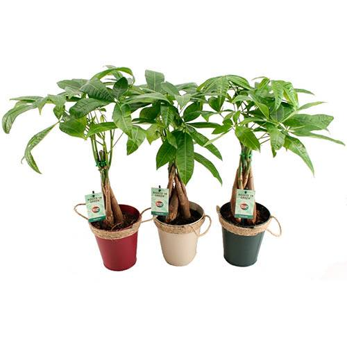 Pachira aquatica - Easy Care Houseplant in 13cm warm zinc pot
