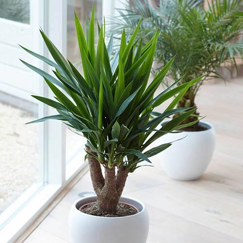 Yucca elephantipes Houseplant in 13cm Zinc Pot