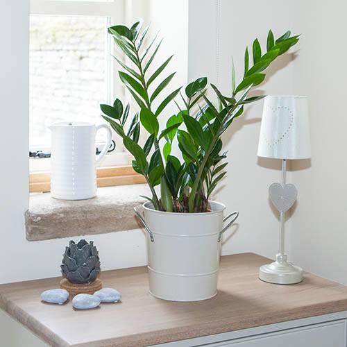 Zamioculcas zamiifolia ZZ Plant, Easygrow Houseplant