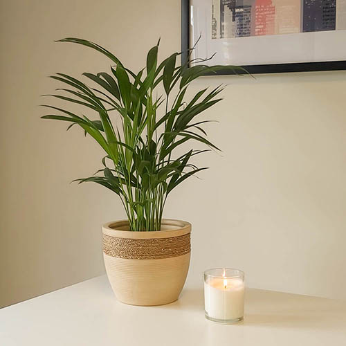 Areca Palm - Butterfly Palm