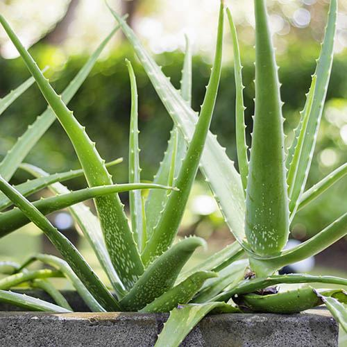 Aloe Vera Easy Care Houseplant