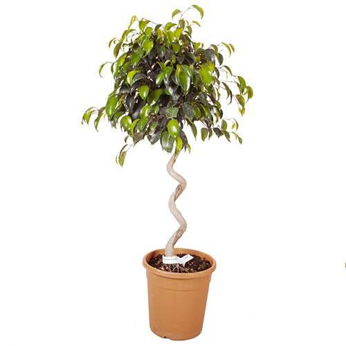 Weeping Fig spiral stem