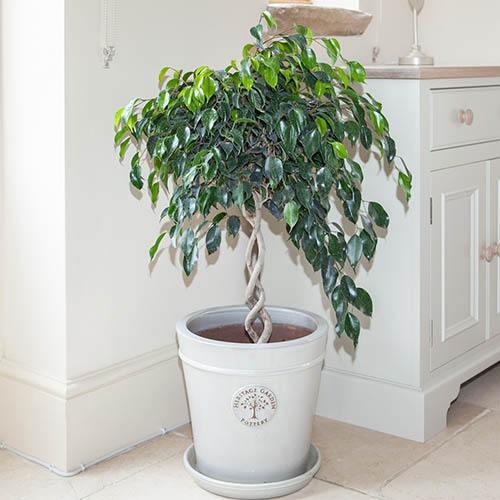 Double Spiral Ficus benjamina Danielle Ornamental Spiral Fig