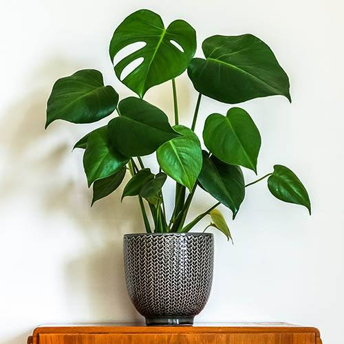 Monstera deliciosa Swiss Cheese Plant
