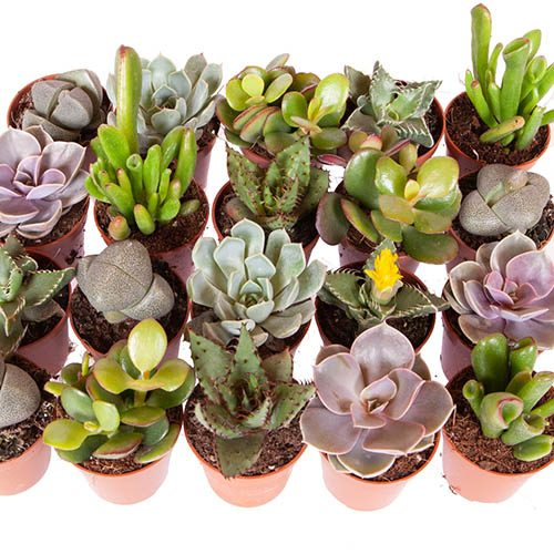 Indoor Succulents Mix
