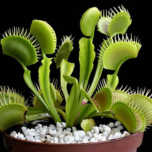 Venus Fly Trap, Dionaea muscipula
