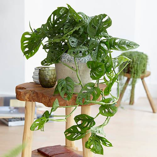 Monstera Monkey Leaf Swiss Cheese Plant Houseplant