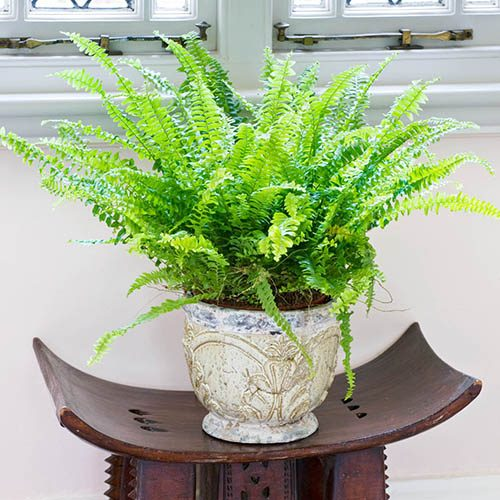 Nephrolepis exaltata Green Moment (Boston Fern)