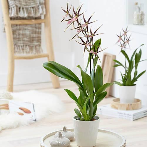 Brassia Shelob Tolkien (Spider Orchid)