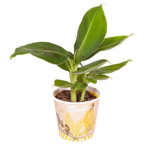 Musa Tropicana (Banana)