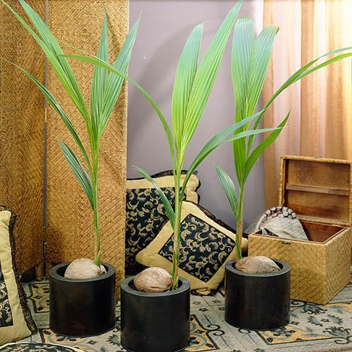 Coconut Palm Tree Cocos nucifera