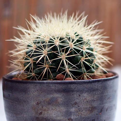 Golden Barrel Cactus Grusonii Snow Cactus