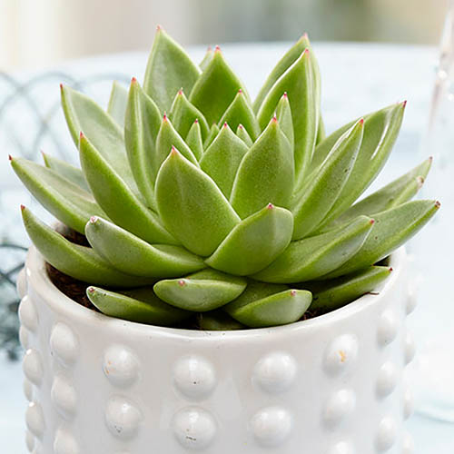 Echiveira Pearl Glitter Succulent 15cm