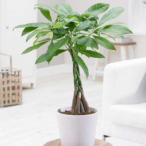 Money Tree Pachira aquatica Braided Standard