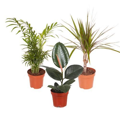 Houseplant Mix 3 Plants