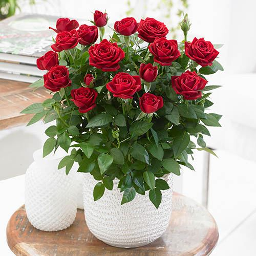Indoor Red Rose Gift