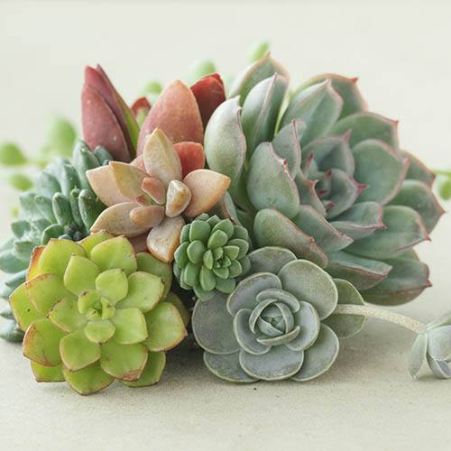 Mixed Succulents x 6