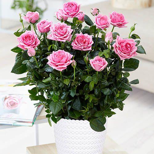 Indoor Pink Rose Gift