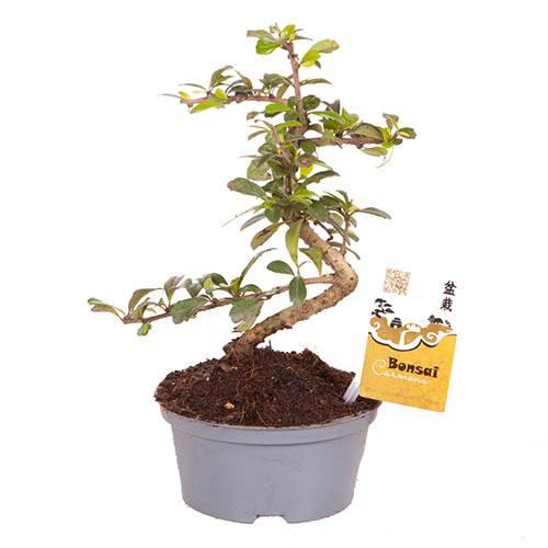 Carmona Bonsai S shape 14cm
