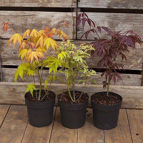 Set of 3 Patio Acers with Metallic Pots