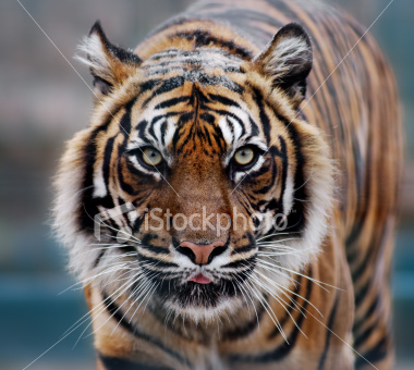 http://store.zcubes.com/00CB4F1FF338456686A10AEE6024B538/Uploaded/ist2_3029509_tiger.jpg