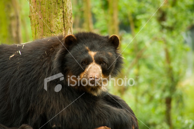 http://store.zcubes.com/00CB4F1FF338456686A10AEE6024B538/Uploaded/ist2_3833043_andean_bear.jpg