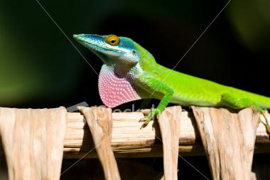 http://store.zcubes.com/00CB4F1FF338456686A10AEE6024B538/Uploaded/ist2_3839764_lizard_dewlap.jpg
