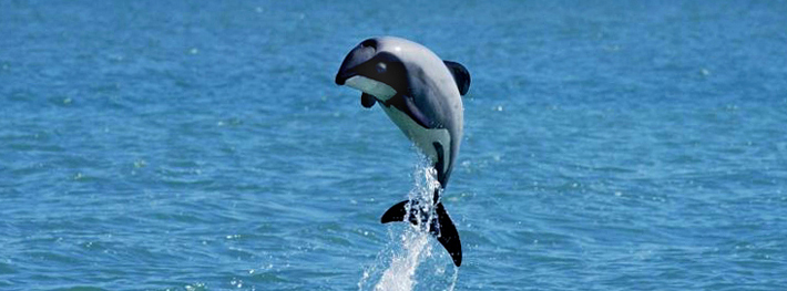New Zealand Government Willfully Allowing Extinction of Native Dolphins