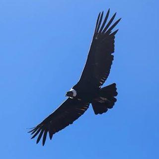 Condor planeando sobre los cerros más altos de la Península.#peninsulamitre #conservemos #tierradelfuego