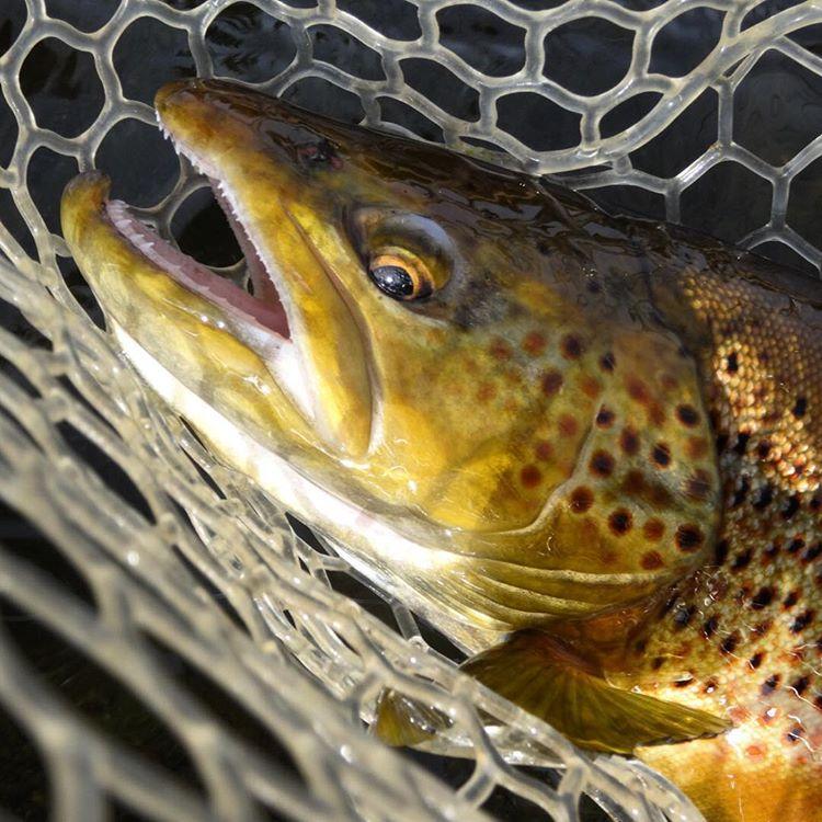 Brown Town. #avalon7 #liveactivated #flyfishing @llbean #llbean www.avalon7.co