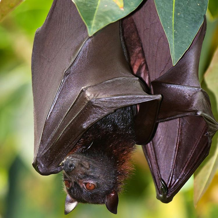 The only thing scarier than bats during #Halloween is the amount of rainforest that is deforested every day. Bats play a crucial part in the #rainforest #ecosystem by controlling insect populations and by pollinating and dispersing seeds around the...