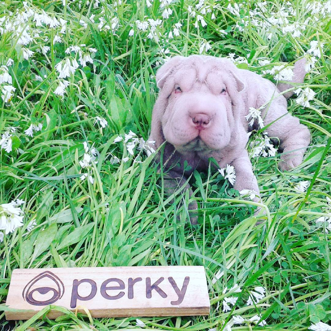 Jueves de flojera ! @perkyshoes @perkyargentina #eudeperky #avidapodesermaisleve #shoes #Perky #Dog #love #beach  #summer #surf
