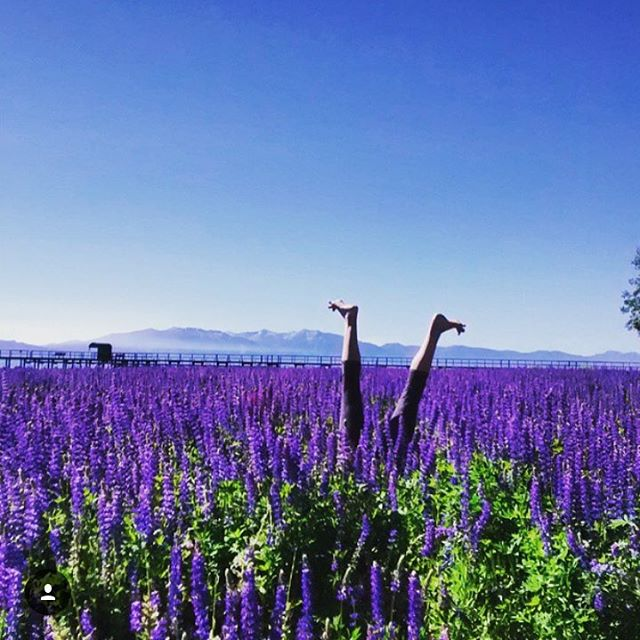 Purple to white, Tahoe is ready for old man winter this weekend!  #sisterhoodofshred #winteriscoming #nomoretoes #lupine #alpinebabes