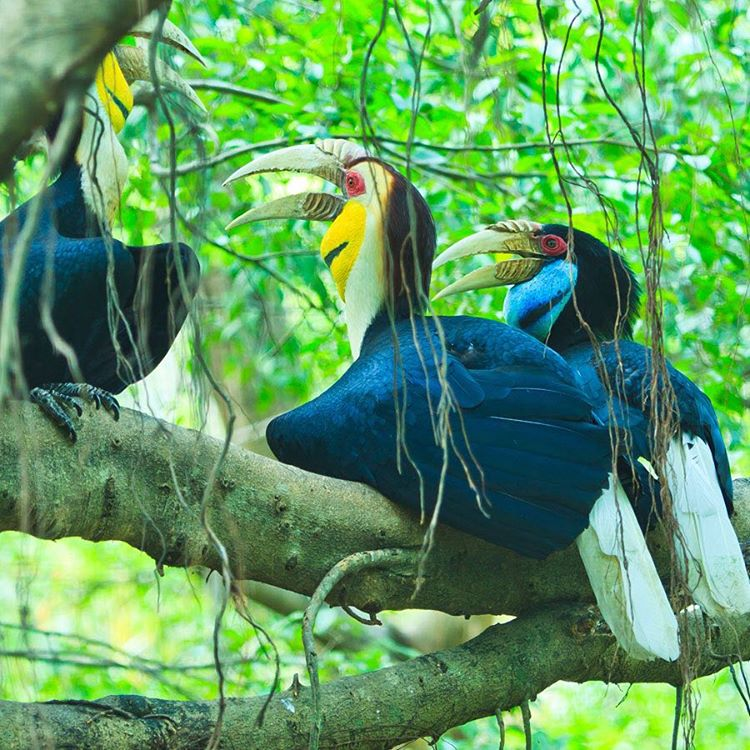 The Great #Hornbill is one of the largest members of the hornbill family and are easily recognized for their bright casques on top of their massive bills. Deforestation is the main threat to these birds' survival as it eliminates both food and breeding...