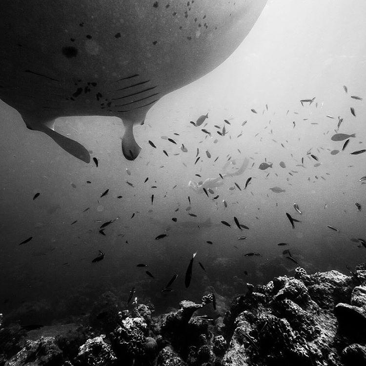free diving with mantas in the Maldives ⚡️ @alisonsadventures Maldives film screening at @patagoniacardiff, this Friday Nov 6 at 6pm!