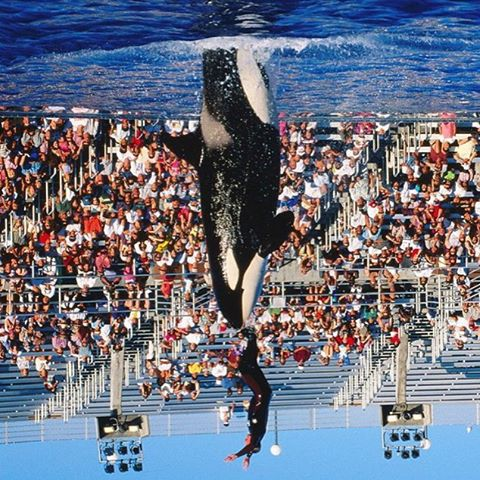 Blackfish Newsflash:  @seaworldsandiego has just done a full 180 flip, and announced that it will end it's famous #KillerWhale dog & pony show sometime in 2016.  Never under estimate the power of a great story folks, because the main driver for this...