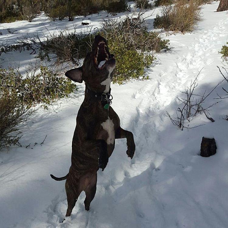 Yum!! Snow tastes delicious! #getoutside #pups #winter #snow #graniterocx