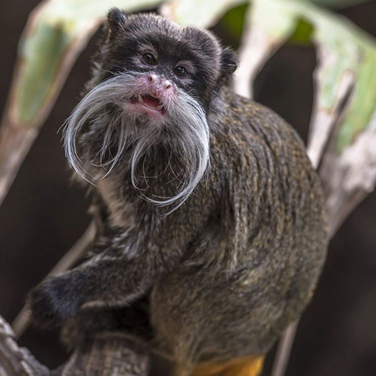The #EmperorTamarin is on top of their #NoShaveNovember game year round. #AmazON #Cuipo #SaveRainforest #Mustachelife #WildlifeWednesday