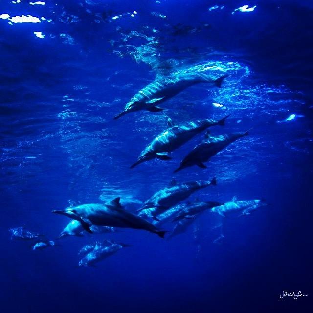 Dolphins for days. #sarahleephoto  #wilddolphins #underthesea