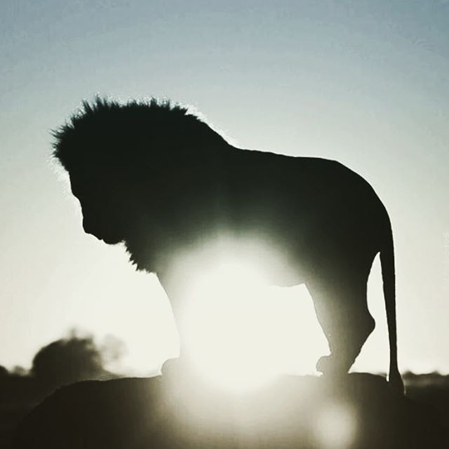 Good morning sunshine #findthesun #kingofthejungle #lion #king