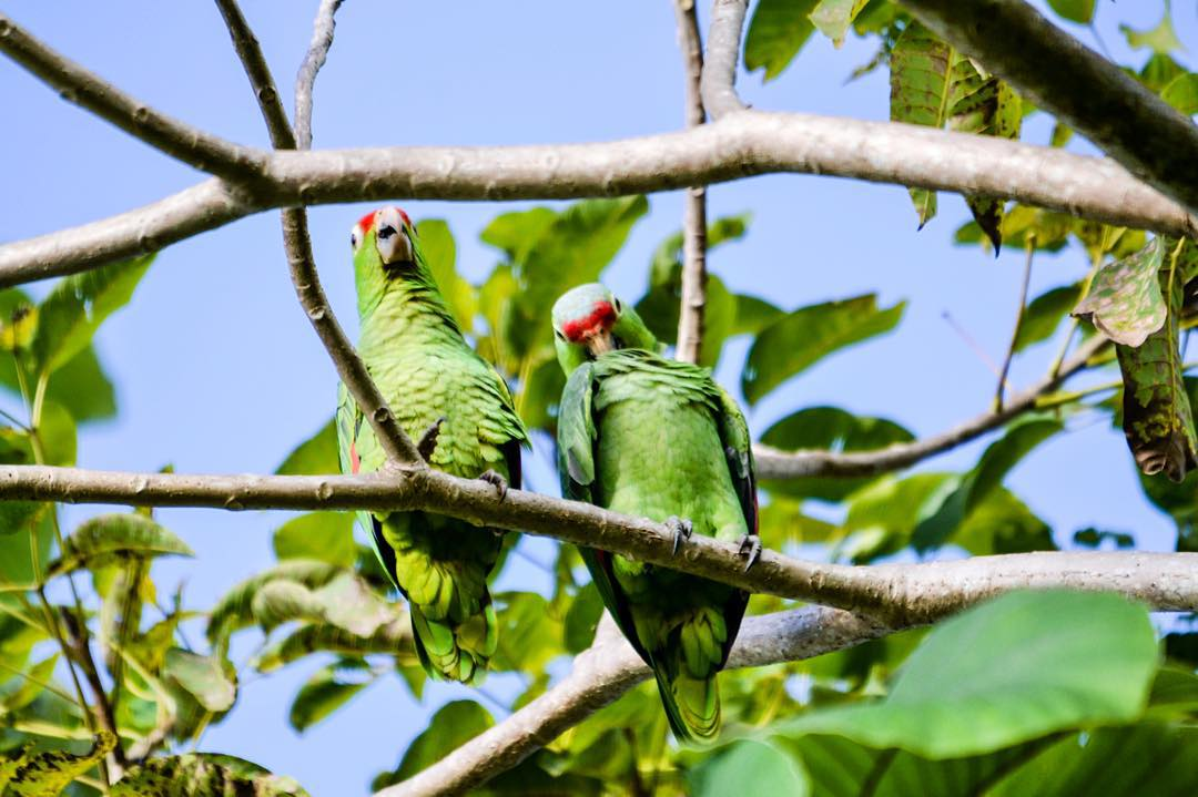 We don't have T.V. at Bodhi Surf School, but that doesn't mean we don't have entertainment! Here are a couple of parakeets chilling in the trees at Bodhi Surf in the early morning.