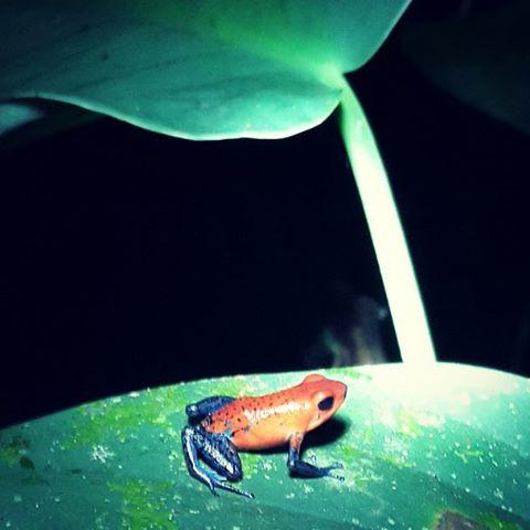En la primera excursion nocturna realizada en Arenal, pude encontrar esta preciosa rana llamada blue jeans. Es altamente venenosa para el humano con tan solo tocarla. Su tamaño no llega a ser mas grande que la uña de nuestro pulgar.... feliz de haberla...