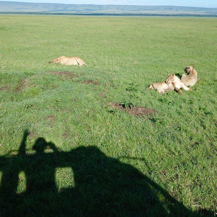 Safari shadow selfie with a few big cats. We watched a pride eat a nice warthog breakfast yesterday morning. Awesome. Shot in Masai Mara, Kenya. #freerange #foodchain #wildlife #GovenorsCamp #MasaiMara #Kenya
